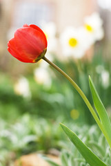 red tulip against the narcissi