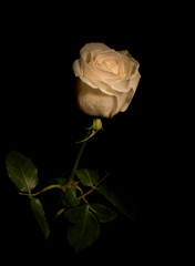 White rose isolated on black background