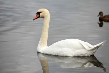 swan screamer pure white angel