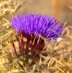 Colorful flower of wild artichoke