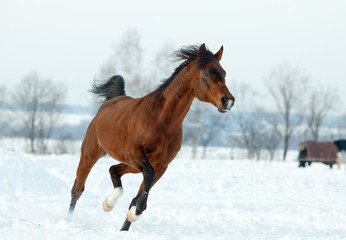 Arabian stallion in winter