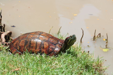 Asian Box Turtle.