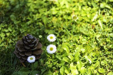 chamomile and fir cone