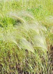 puffy grass