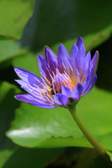 Purple Lotus Flower Blooming at Summer.