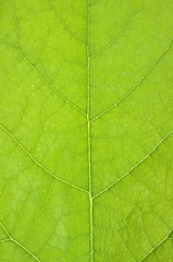 Texture of fresh leaf background