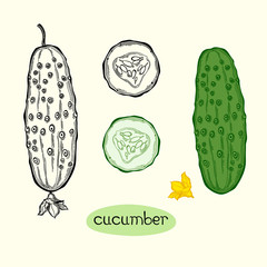 Vector illustration of cucumber.