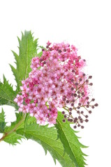 Spiraea flower isolated on white background
