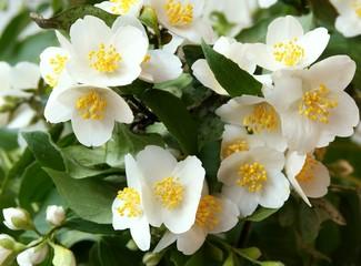 jasmine blossoming