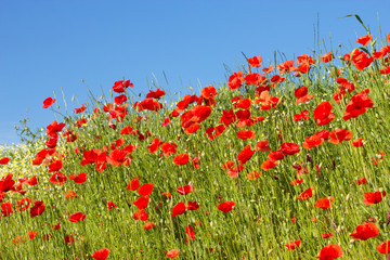 Common poppy flowers and the blue sky
