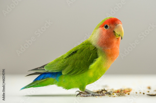 Foto op Aluminium Papegaai Colorful agapornis