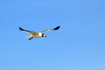 Lone Seagull Flying against a blue sky background