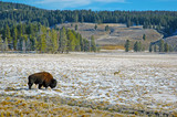 American Bison and Coyote, Rocky Mountains, USA