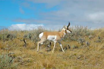 Pronghorn Antelope, Rocky Mountains, USA