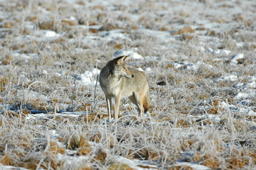 Coyote Isolated in field