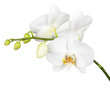 Three day old white orchid isolated on white background.