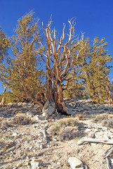 Ancient Bristlecone pine trees, Nevada, USA