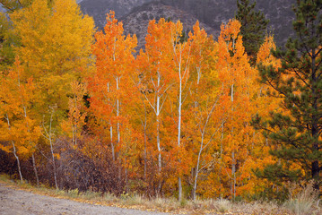 Autumn foliage - Aspen in Fall colors
