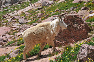 Mountain Goat, Rocky Mountains, USA