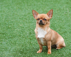 Red chihuahua dog siting on green grass