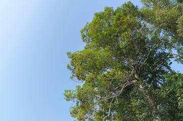 The forest tree and blue sky  in dry evergreen forest