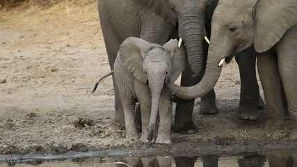Baby African elephant at a waterhole