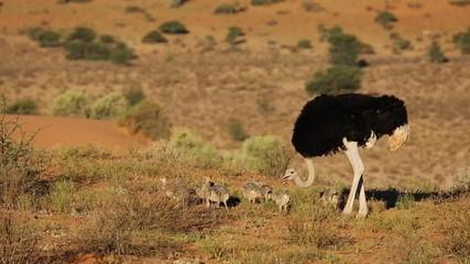 Ostrich with chicks in desert landscape