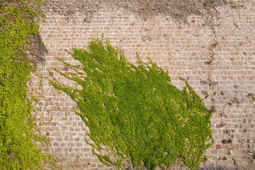 Ivy Climbing Plants on a Castle Wall