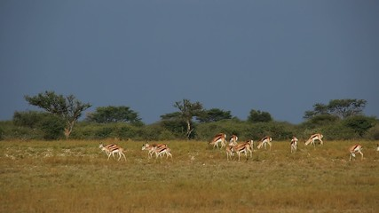 Herd of springbok antelopes in natural habitat