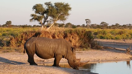 White (square-lipped) rhinoceros drinking at a waterhole