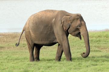 Lankesian Elephant, Minneriya, Sri Lanka