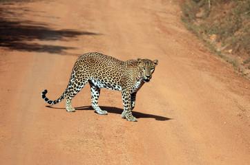 Lankesian Leopard, Yala, Sri Lanka