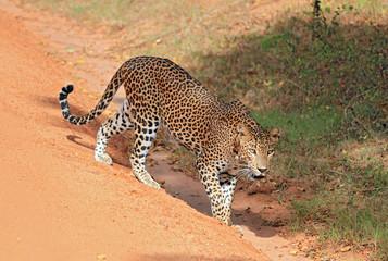 Sri Lankan Leopard, Yala, Sri Lanka