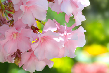 Oleandro rosa