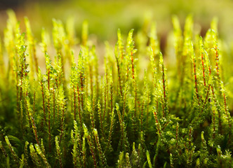 Fresh growing moss