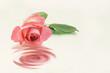 canvas print picture - Rose mit Spiegelung