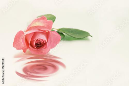 canvas print picture Rose mit Spiegelung