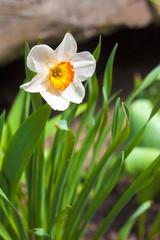 Narcissus flower on spring