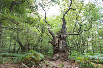 Big old oak tree