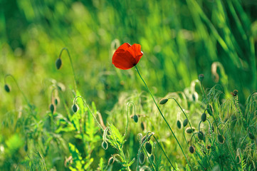 One red poppy on green grass background