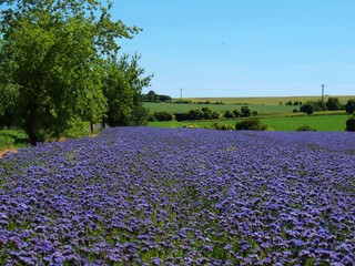 Purple Tansy field in countryside in hot summer day. Green blue