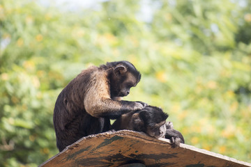 A pair of Tufted Capuchins, also known as Brown or Black-capped