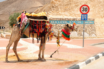 Bedouin camel  at the way to the dead sea. Israel.