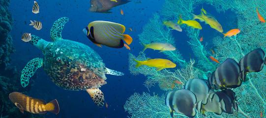 Hawksbill sea turtle (Eretmochelys imbricata)