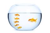 Team leader and followers concept. Goldfish in aquarium