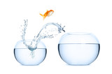 Goldfish jumping into a new aquarium. Concept of relocation. poster