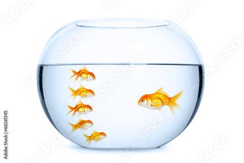 Team leader and followers concept. Goldfish in aquarium - 66261345