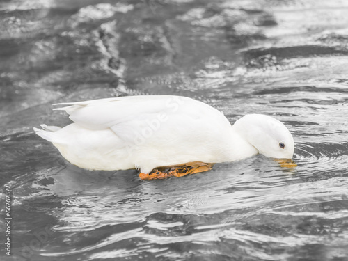 Female Peking duck drinking water on the Seine River Poster