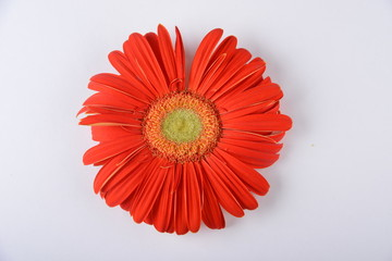 Floral background. Red gerbera on white