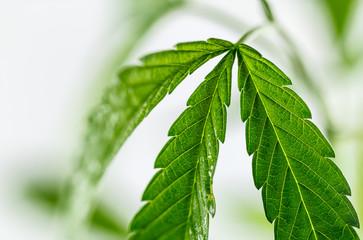 Close up marijuana leaf